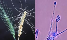 Two images of the fungus Fusarium