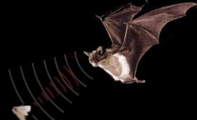 image of a bat tracking its prey with sonar